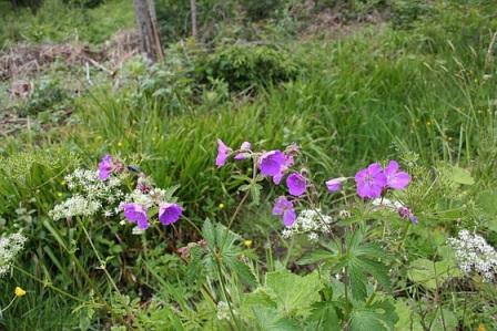 geranium_des_marais