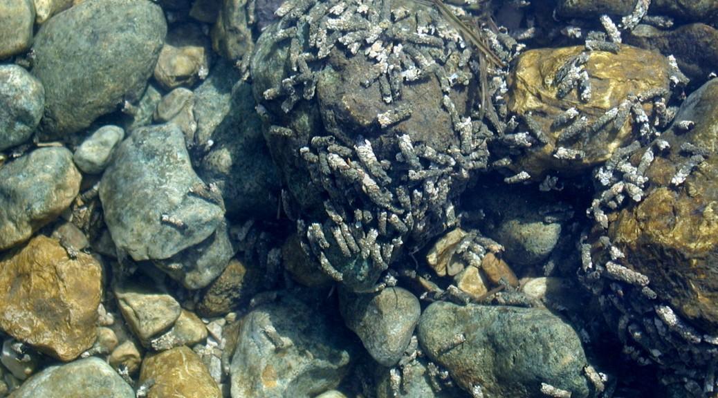 Trichoptères dans le Drugeon