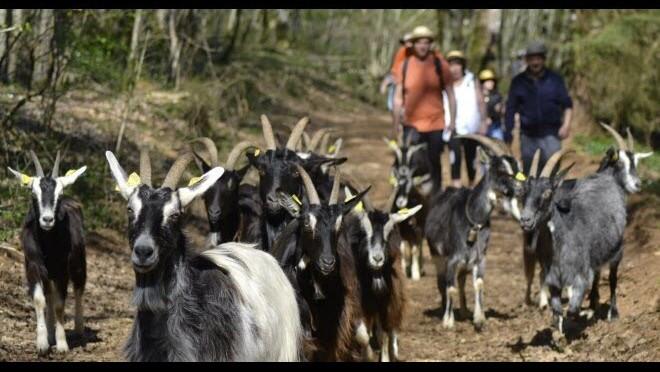 Natura 2000 : une saison à Lombard pour les chèvres de Moini