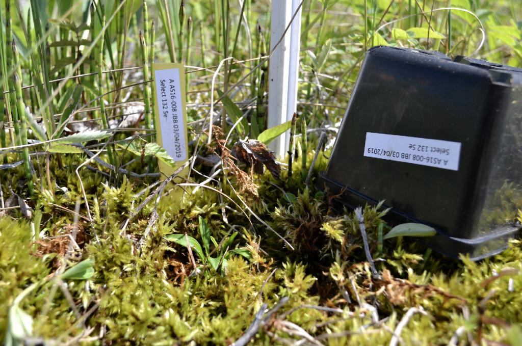 Pied-saxifrage-en-milieu-naturel_Justine-AMIOTTE-SUCHET